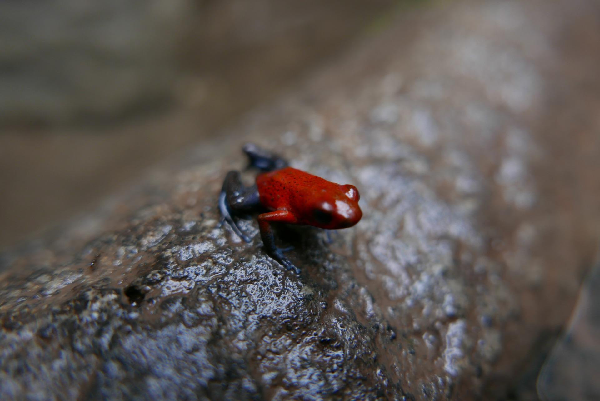 Venenosa, a rã vermelha de pernas azuis é um dos símbolos da Costa Rica e pode ser vista no Parque Tortuguero