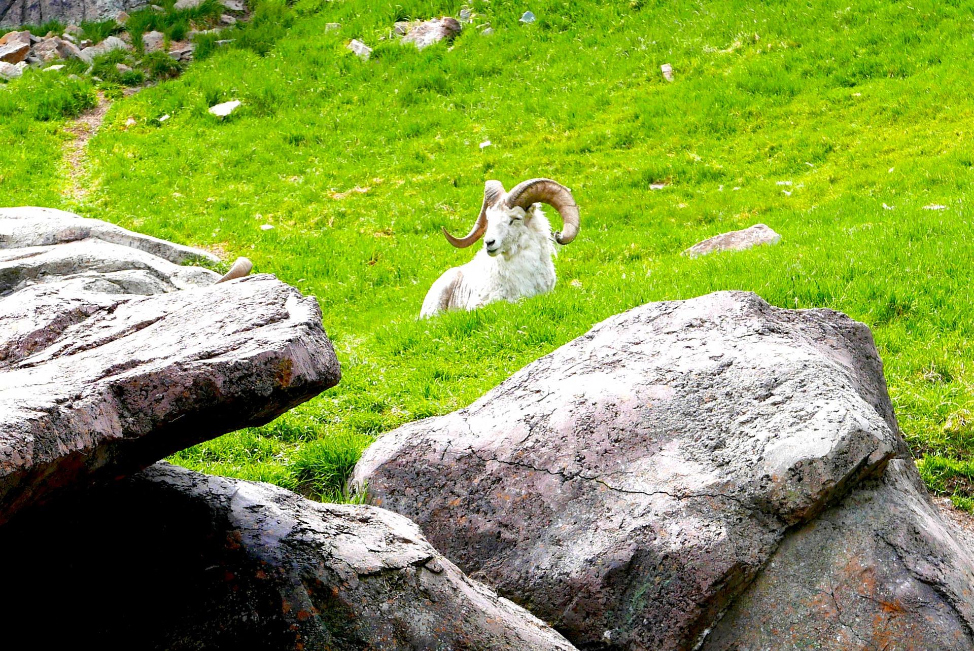 A cabra das Montanhas Rochosas, espécie típica da região pode ser observada no zoológico de Calgary (Claudia Tonaco)