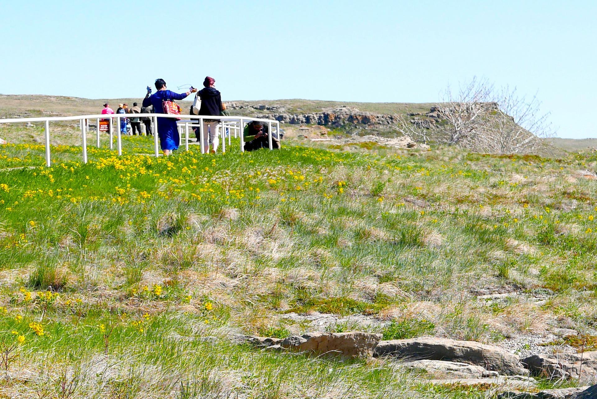 Turistas atravessam um campo de canolas para visitar o Head-Smashed-In Buffalo Jump (ao fundo à direita), tombado pela Unesco (Claudia Tonaco)