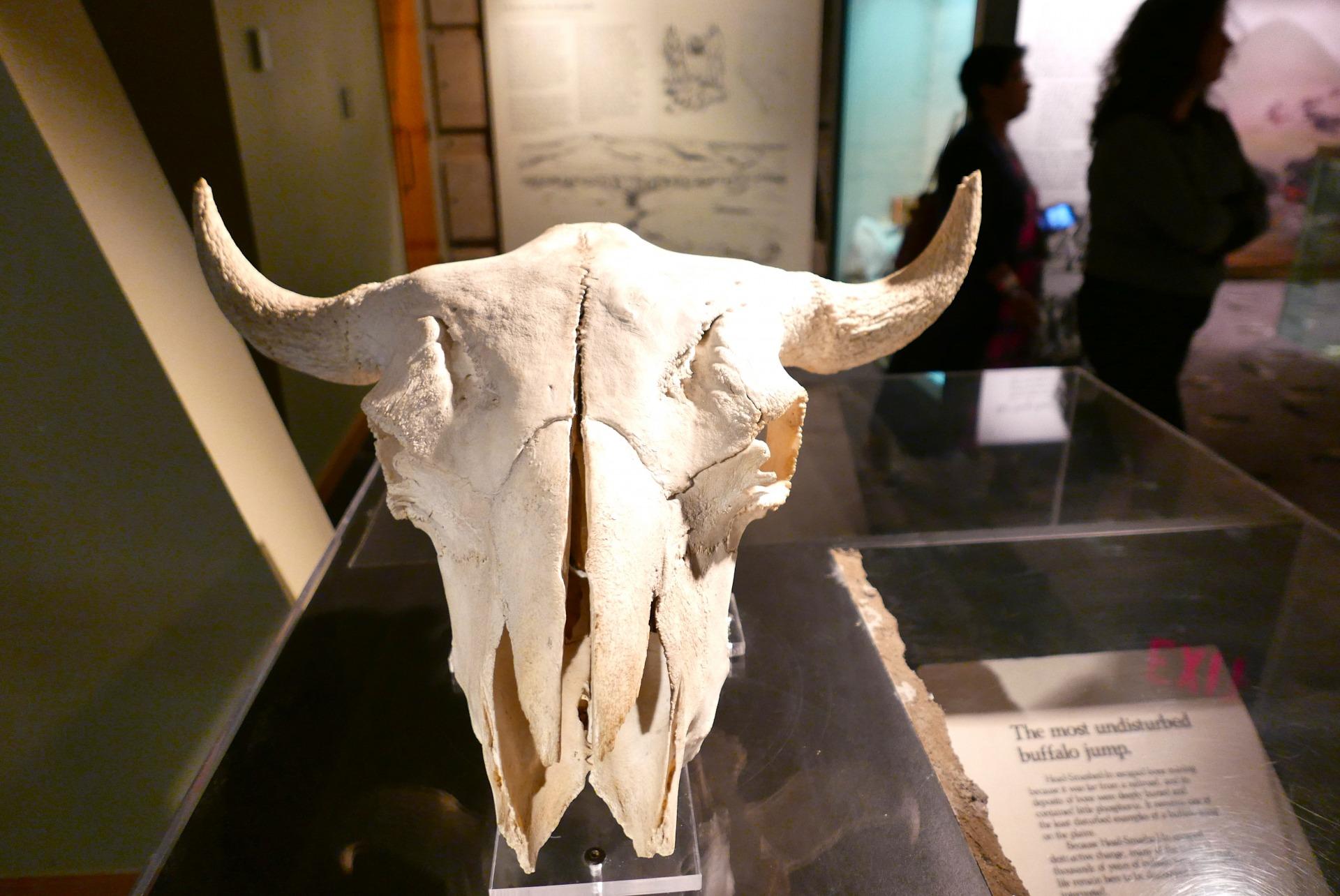 Dentro do museu, a incrível história dos bisões e do povo Blackfoot (Claudia Tonaco)