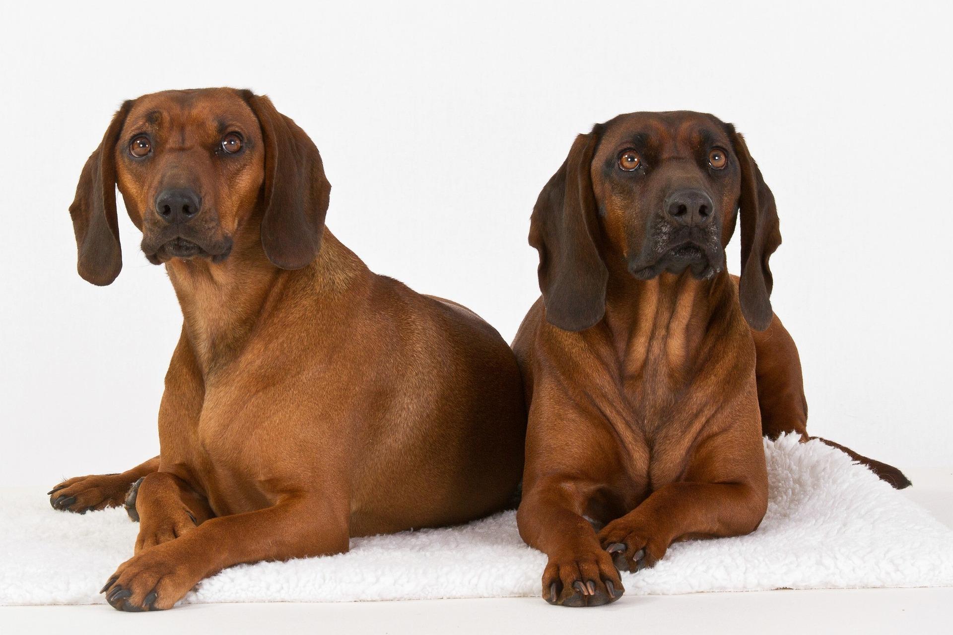 Dois Cachorros