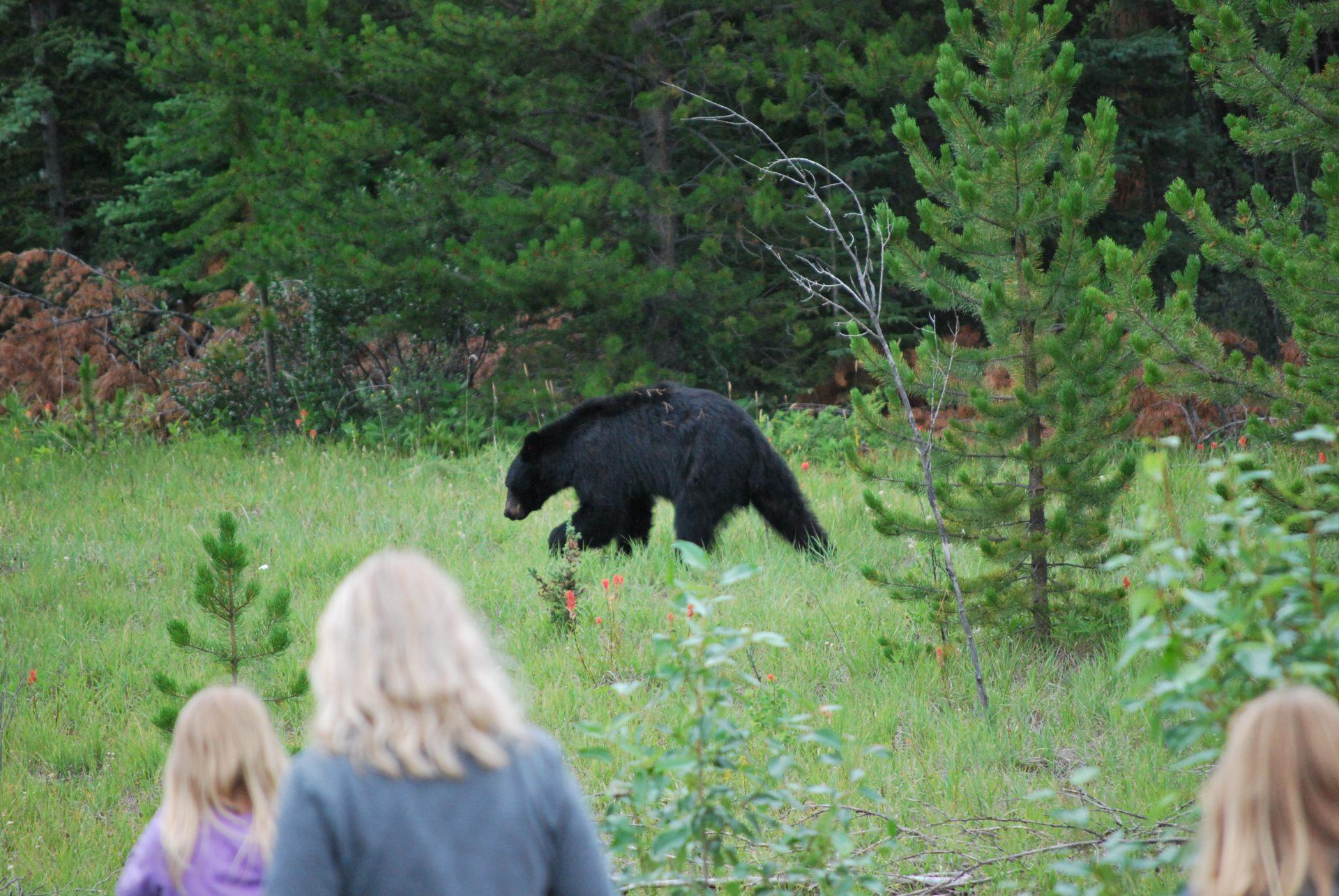 Ver um urso, em seu habitat natural é uma recompensa para o turista que visita o Canadá