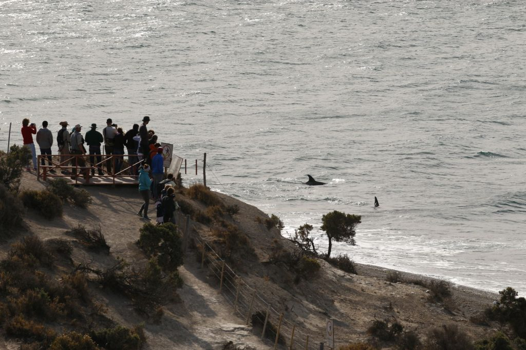 Encalhe intencional das orcas na Patagônia Argentina